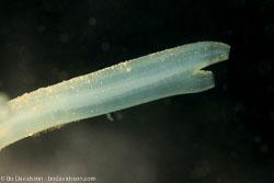 BD-110416-Lysekil-20-Ciona-intestinalis-(Linnaeus.-1767)-[Sea-vase.-Tarmsjöpung].jpg